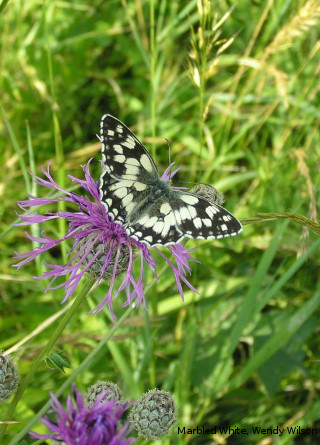 Marbled White butterfly by Wendy Wilson